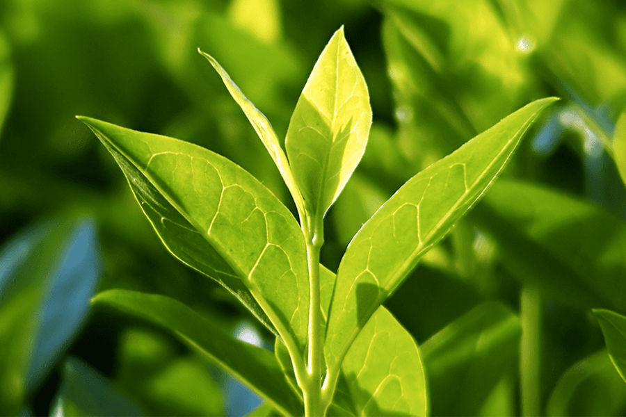 Gesundheitliche Vorteile von grünem Tee - Camellia sinensis Pflanze