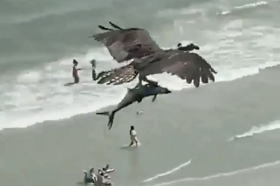 Watch This Badass Eagle Snatch a Shark Straight Out of the Ocean