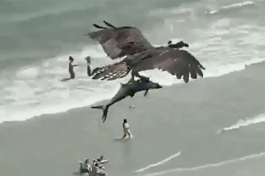 Beobachten Sie, wie dieser Badass Eagle einen Hai direkt aus dem Ozean schnappt