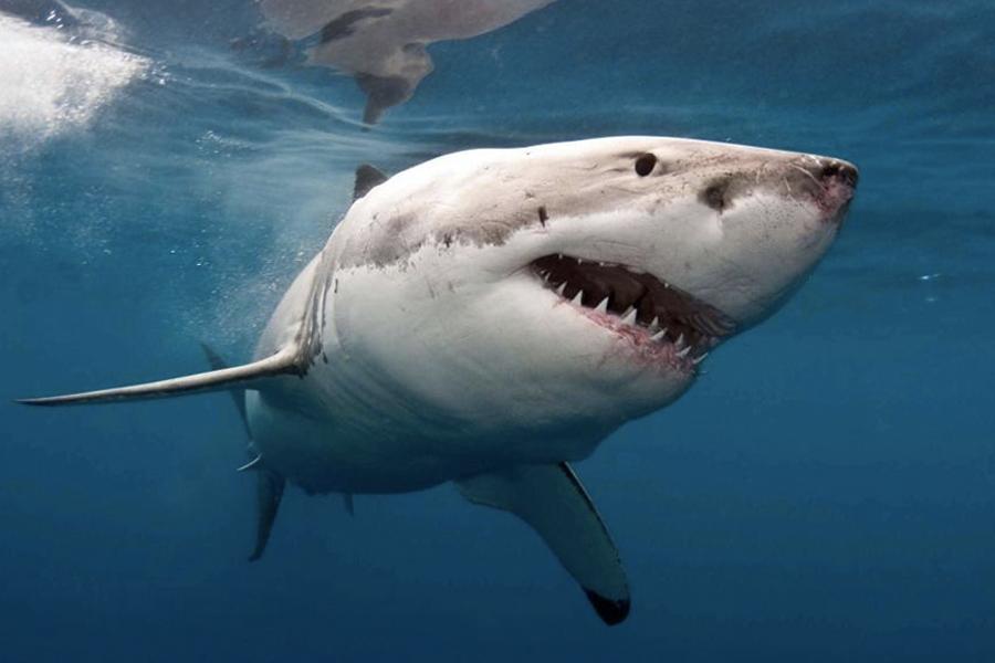 Aussie Surfer wehrt den Weißen Hai in LandCruiser-Größe ab
