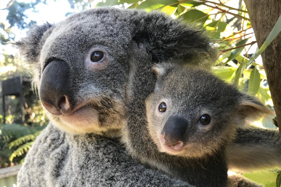 Wohlfühl Freitag Koala