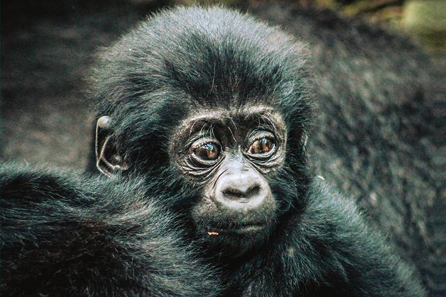 Wohlfühlfreitag - Gorilla-Boom