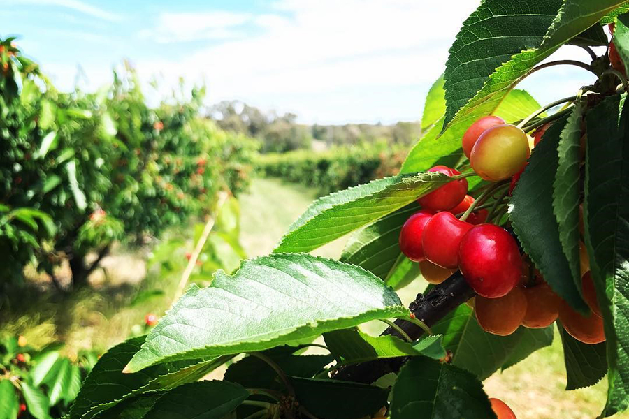 Allambie Orchard Best Family Fruit Picking Sydney