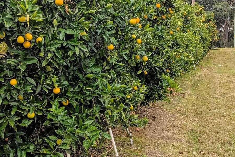 Bilpin Springs Orchard Best Family Fruit Picking Sydney